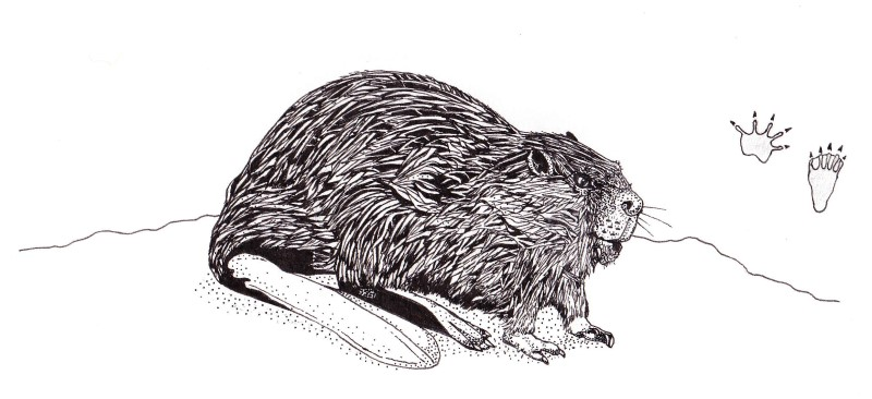 Ink sketch: Beaver (Castor canadensis) found in the boreal forest, Quebec