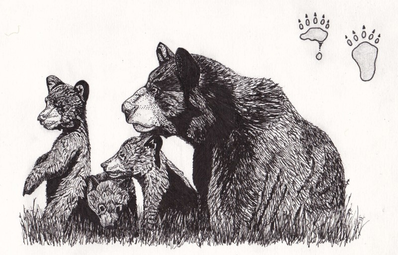 Ink sketch: American Black Bears (Ursus americanus) found in the boreal forest