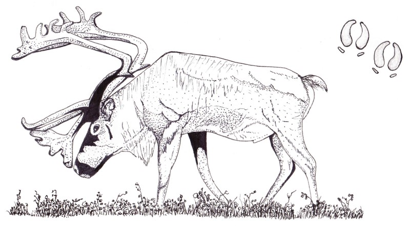 Ink sketch: Caribou (Rangifer tarandus) of the boreal forest, Quebec