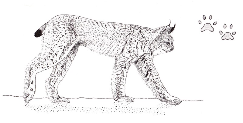 Ink sketch: Lynx (Lynx canadensis) of the Boreal Forest, Quebec