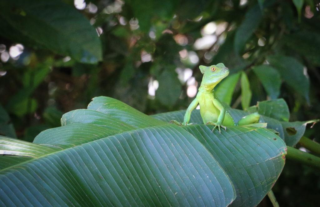 Basiliscus - 'the Jesus Christ' lizard, Costa Rica, at Nido del Tigre Camp near Bajo Tigre on the Pacuare River